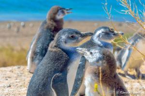 Pinguins - Península Valdés, Argentina
