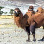 Camelo-bactriano - Nubra Valley, Índia
