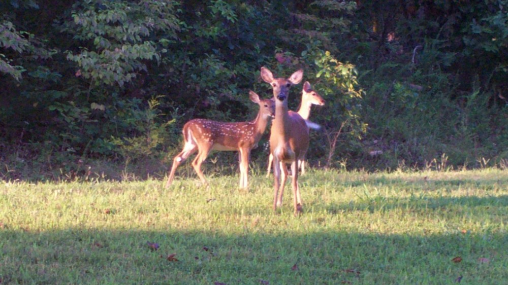 Does and twin fawns at the cove