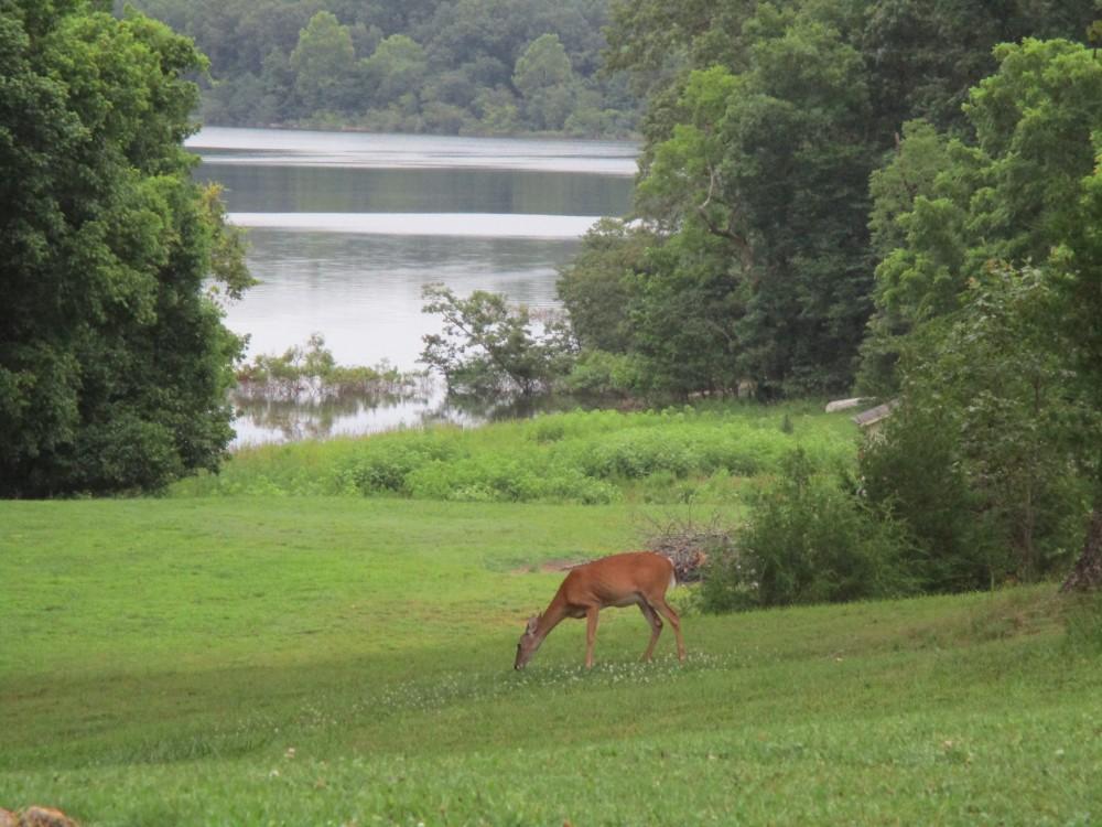 deer grazing on meadows above Norfork lake