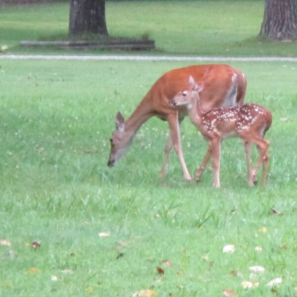 deer and fawn grazing