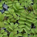 Salvinia auriculata invasive Floating Plant Hawaii