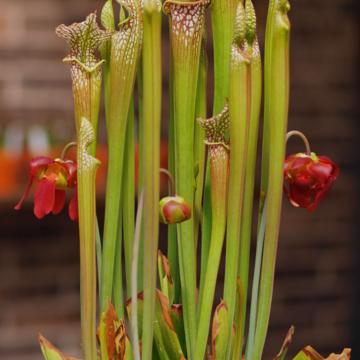 Leucophylla, Carnivorous, Garden Ponds, Sarracenia, passive pit fall trap, flowering, native to north america, marginal plant, bog plant