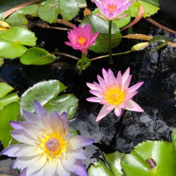 Sun loving water lilies provide shade
