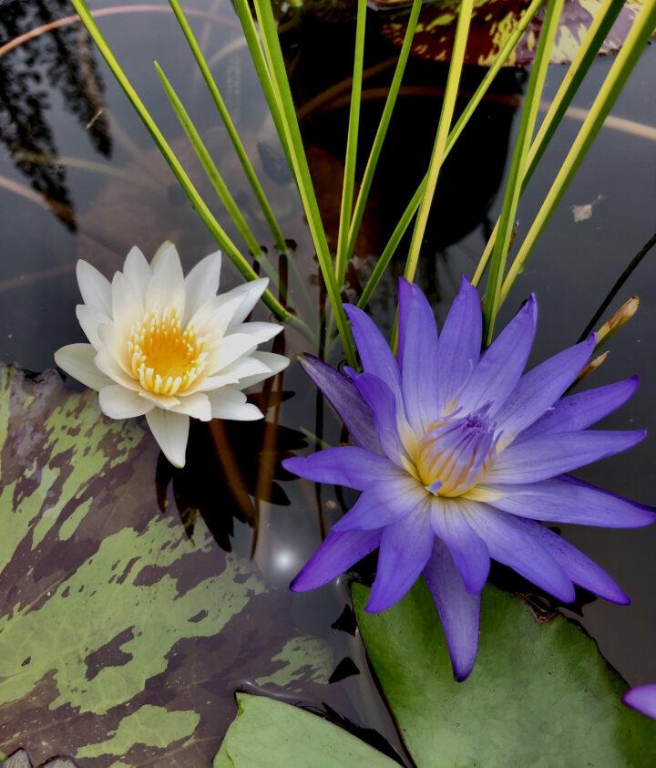 Enchanted Garden: Top Water Lilies of the Season by Garden Ponds