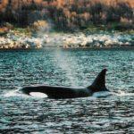 Orca_shoreline5z