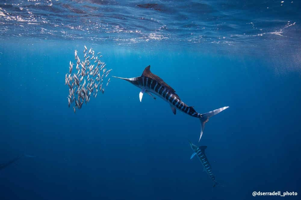Spearfish hunting sardines