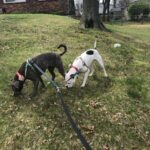 Skittles and Schmutz out for a walk