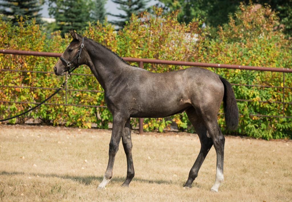 Della (Cordelia NF) Albert Kley Champion Jumper Foal