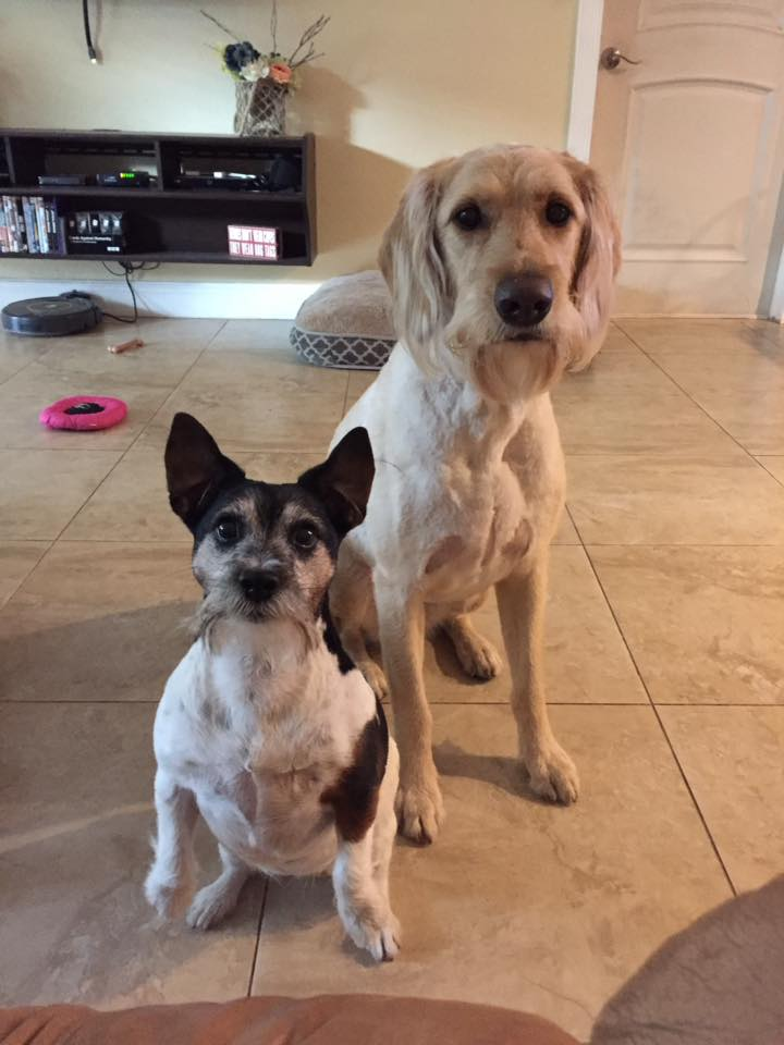 Bailey, a family JRT and Sadie, Coral's sister from our first doodle litter!