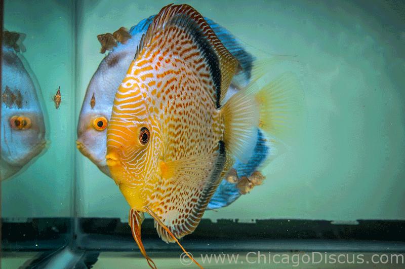 Chicago Discus Fish 2014