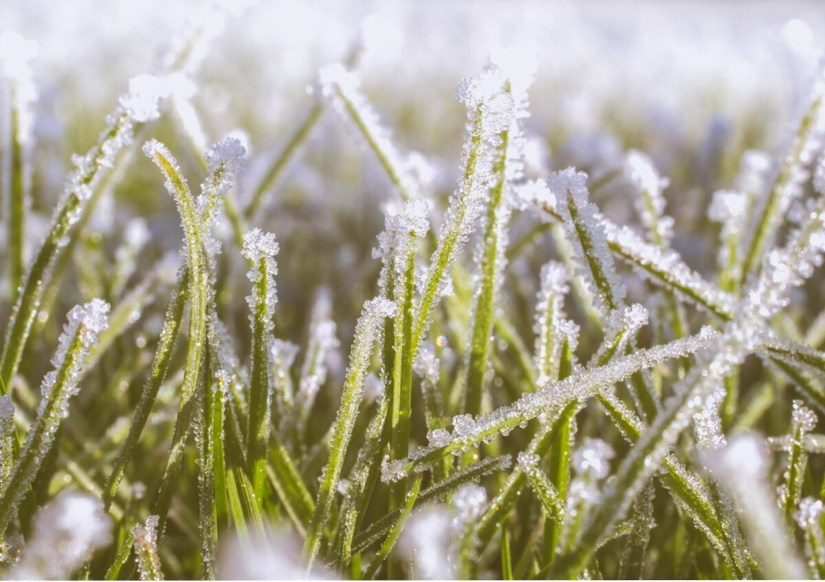 Frost growing on blades of grass