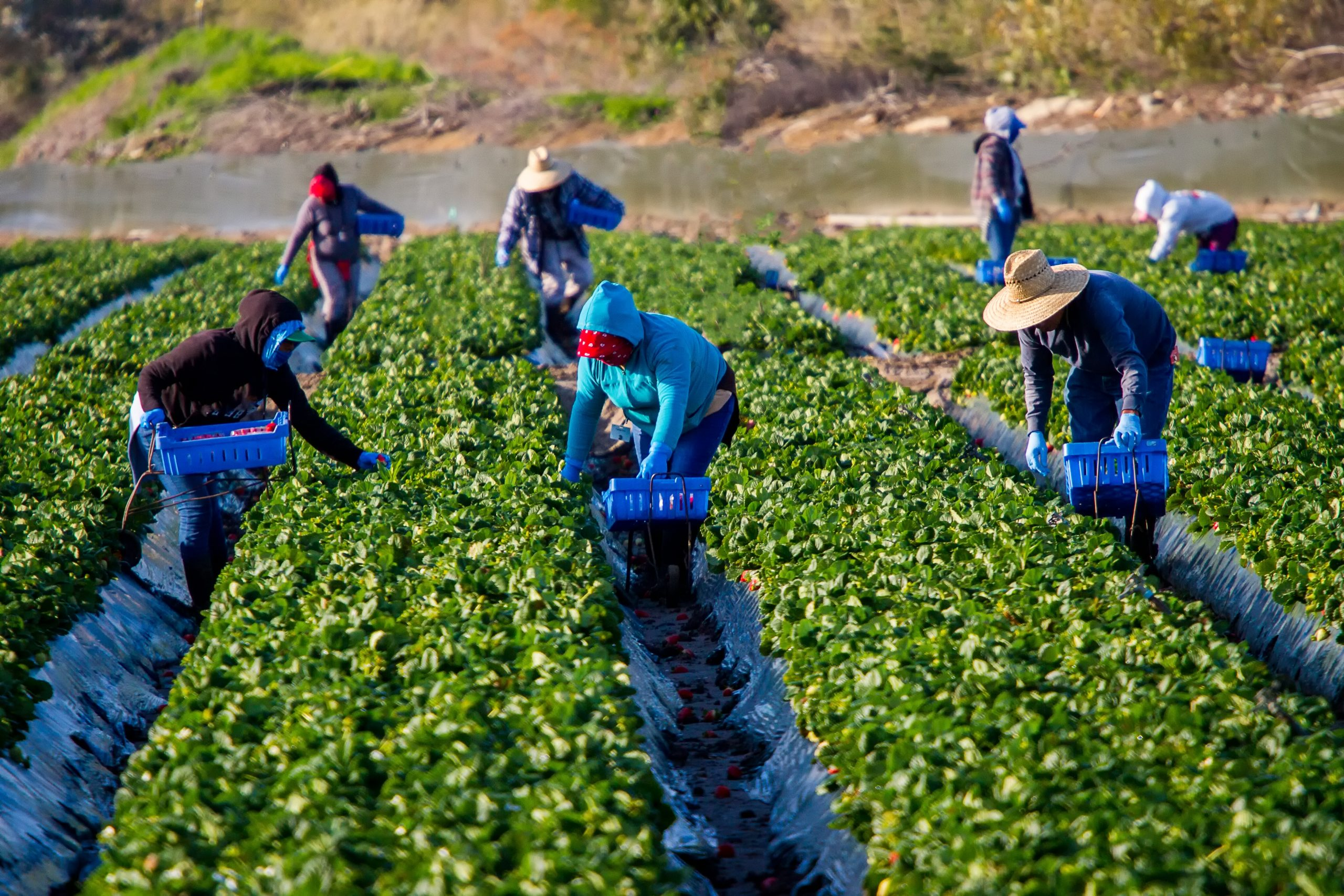 agricultural-workers-in-strawberry-field-picking-fruit-with-colorful-clothes-and-hats-blue-baskets-in_t20_E4oZx8-scaled