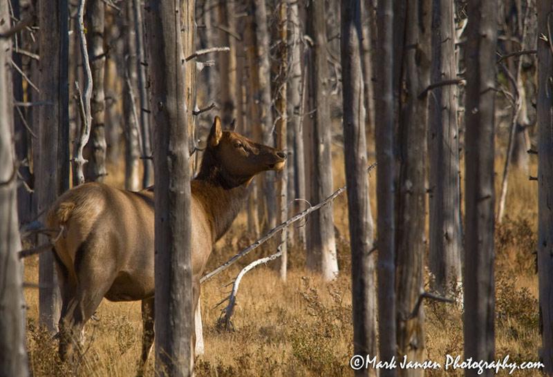 Yellowstone Wildlife Photography