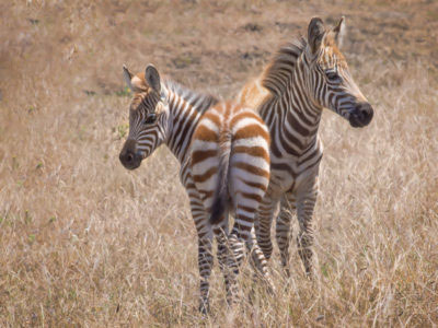 Zebras During our Big Sur Photography Workshop