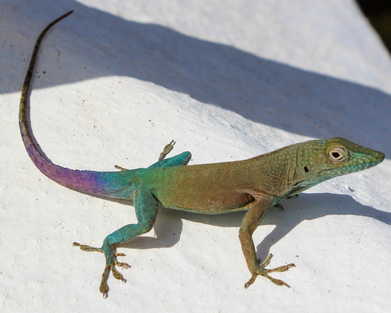 photo of a colorful lizard in Bermuda