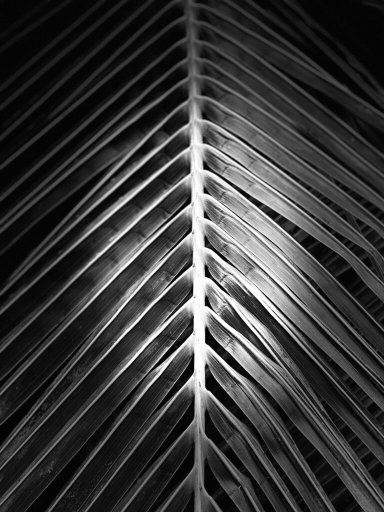 Black and white photo of palm tree leaf