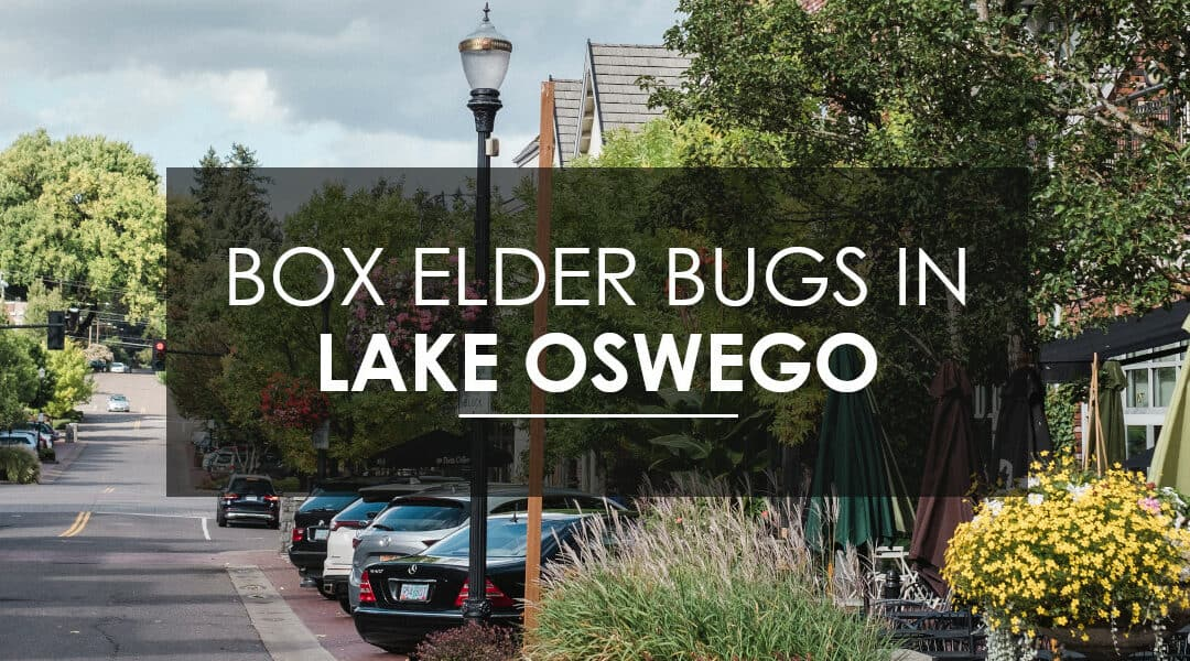 Box Elder Bugs In Lake Oswego