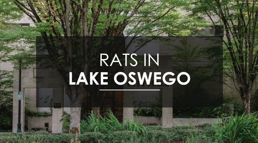 Rats in Lake Oswego
