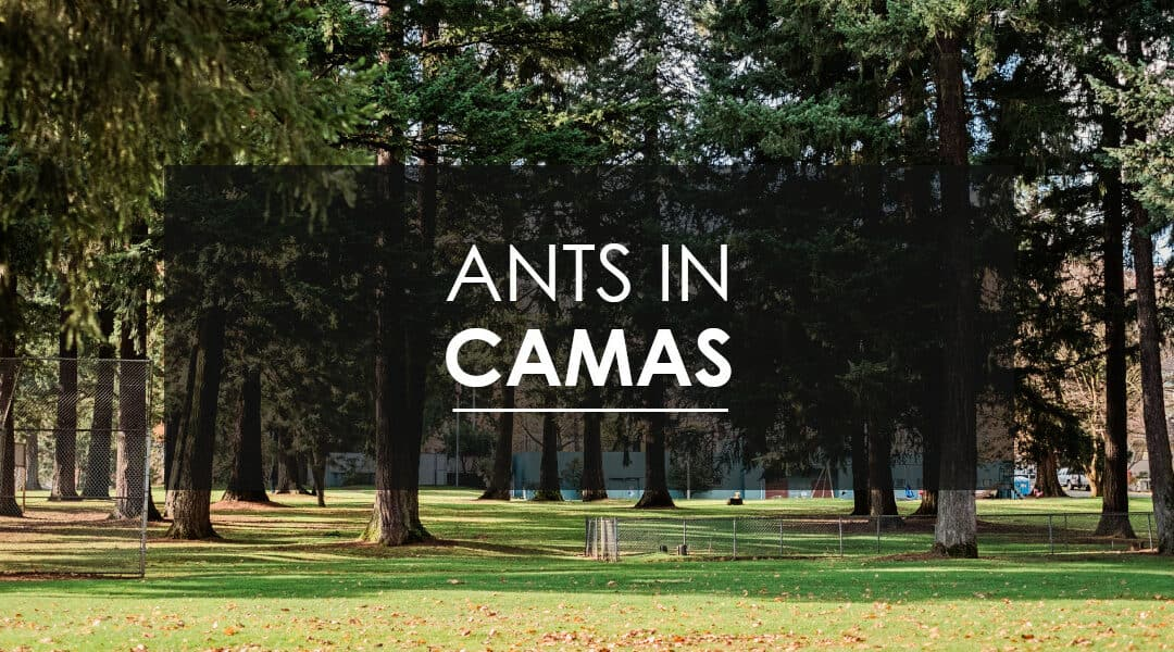 Sugar Ant Extermination In Camas