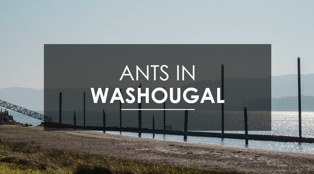 Ant Extermination in Washougal