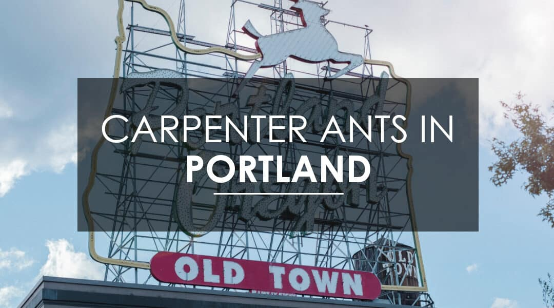 Carpenter Ant Extermination in Portland: Everything Portland needs to know about carpenter ants, and how to get rid of them — for good!  Courtesy of Aspen Pest Control