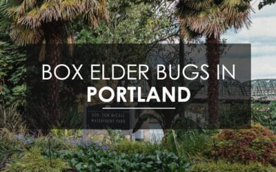 My Portland Home is Infested with Boxelder Bugs — How Do I Exterminate Them?