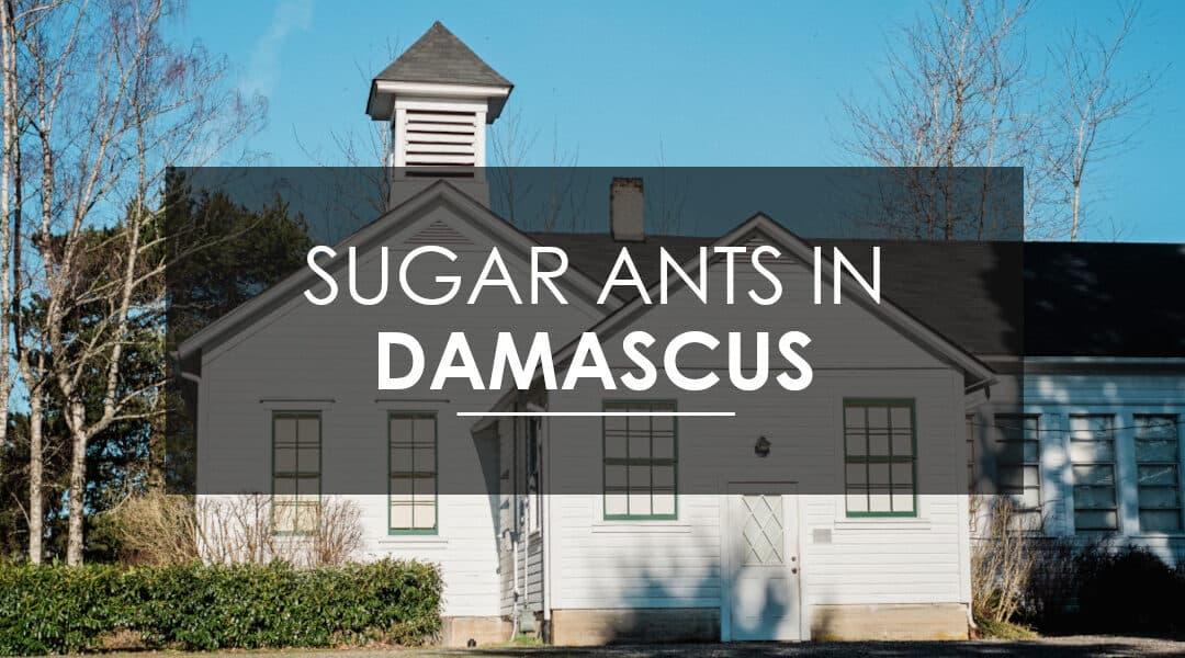 Sugar Ant Extermination in Damascus