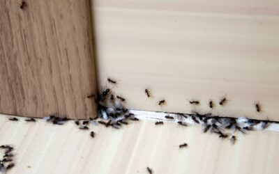 Sugar Ants in Your Oak Grove Home?