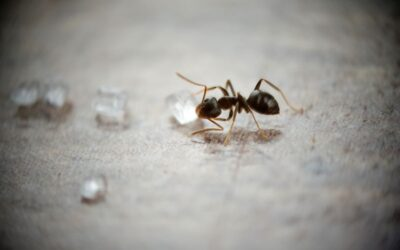 Sugar Ant Extermination in Damascus