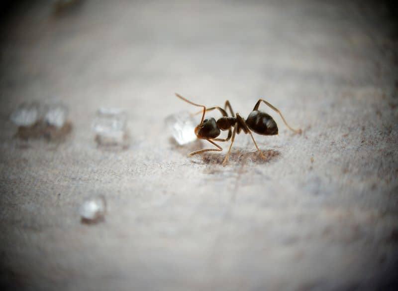close up of sugar ant