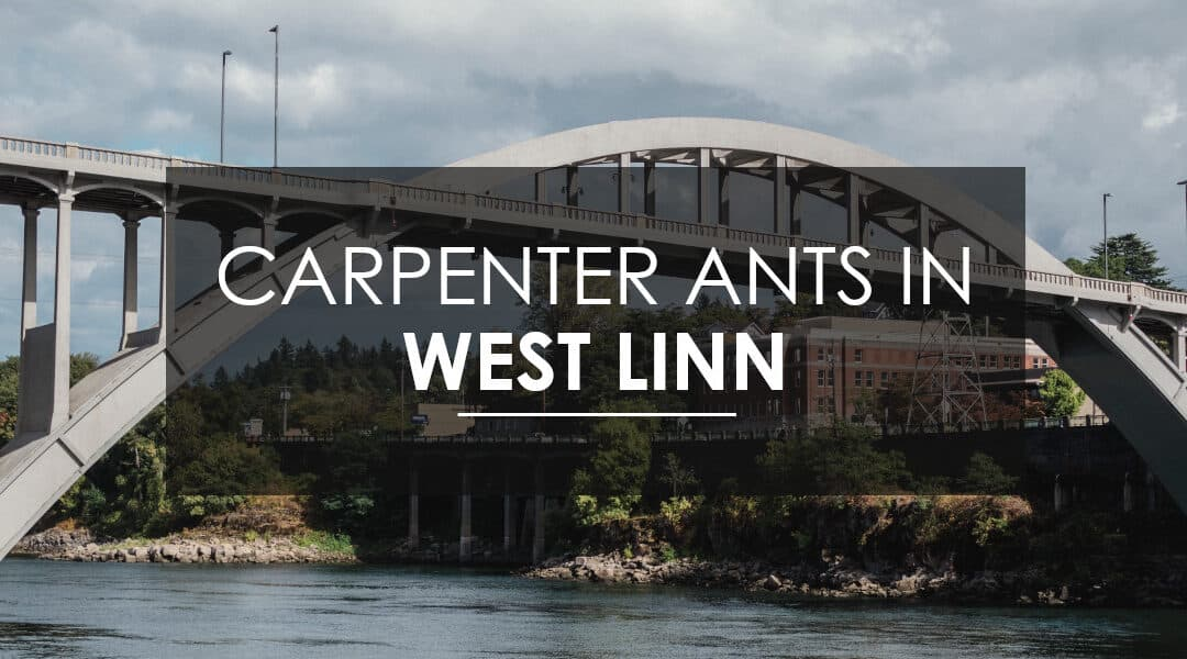 Need Carpenter Ant  Extermination in West Linn?