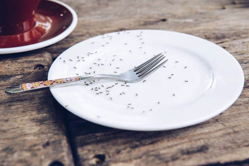 sugar ants crawling on dinner plate