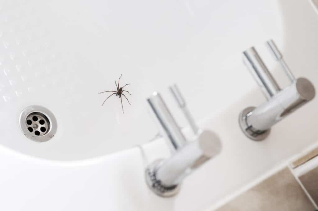 Giant House Spider In A Bathroom