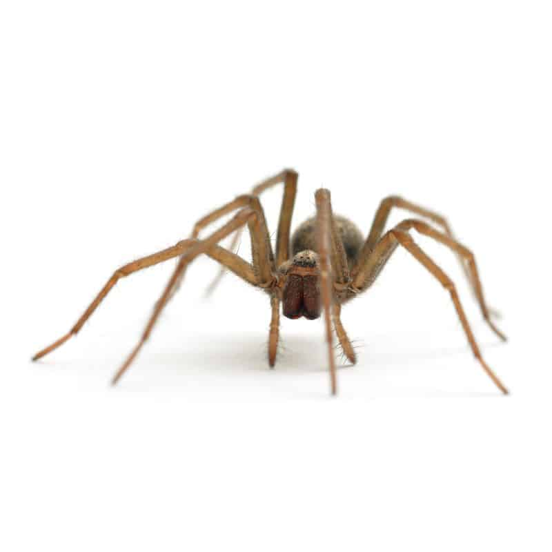 house spider on white background