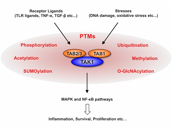What is TAK1 and why is it important to inhibit its potentially destructive pathway?