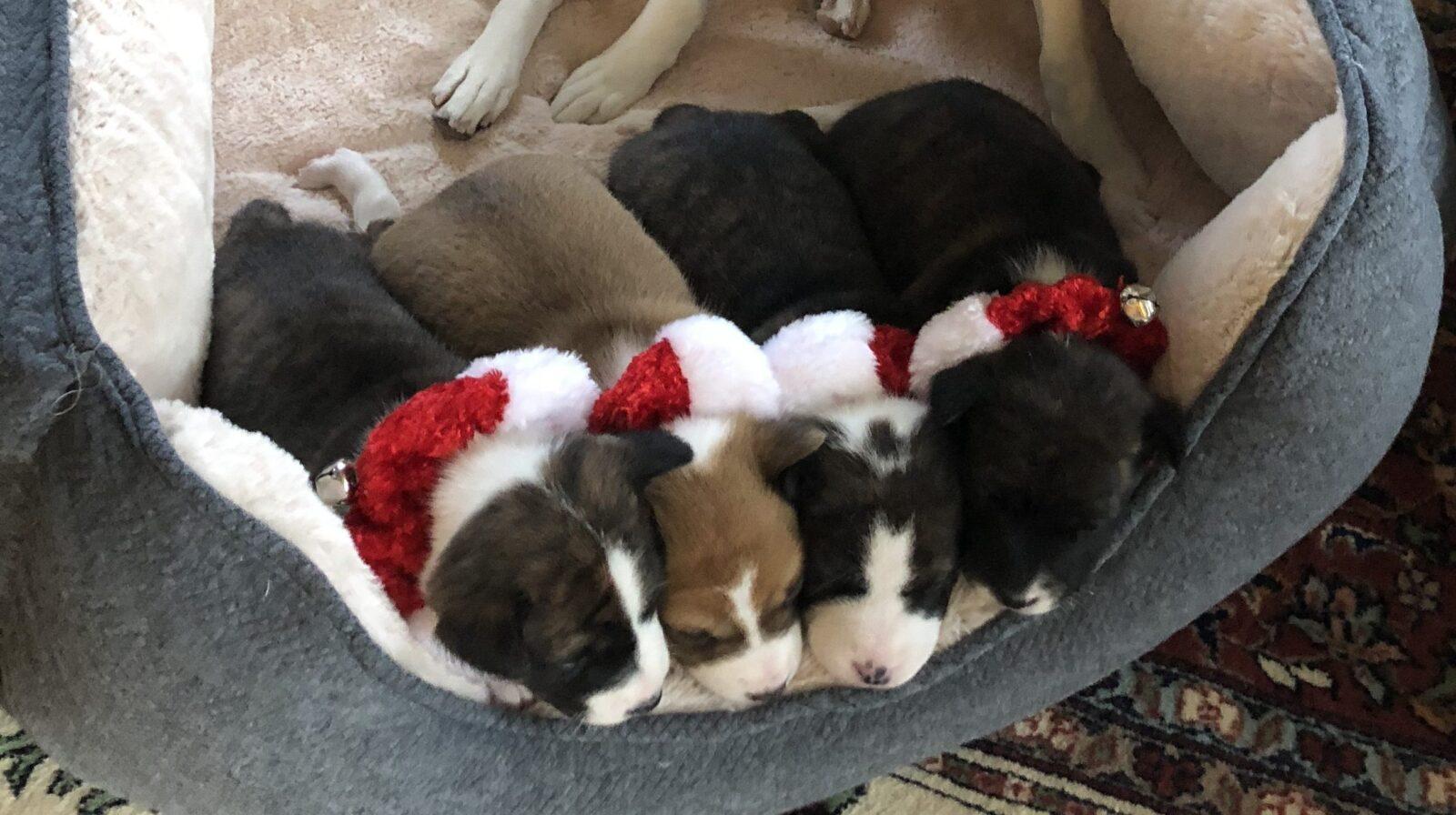 4 Girls, 3 brindles & 1 Red