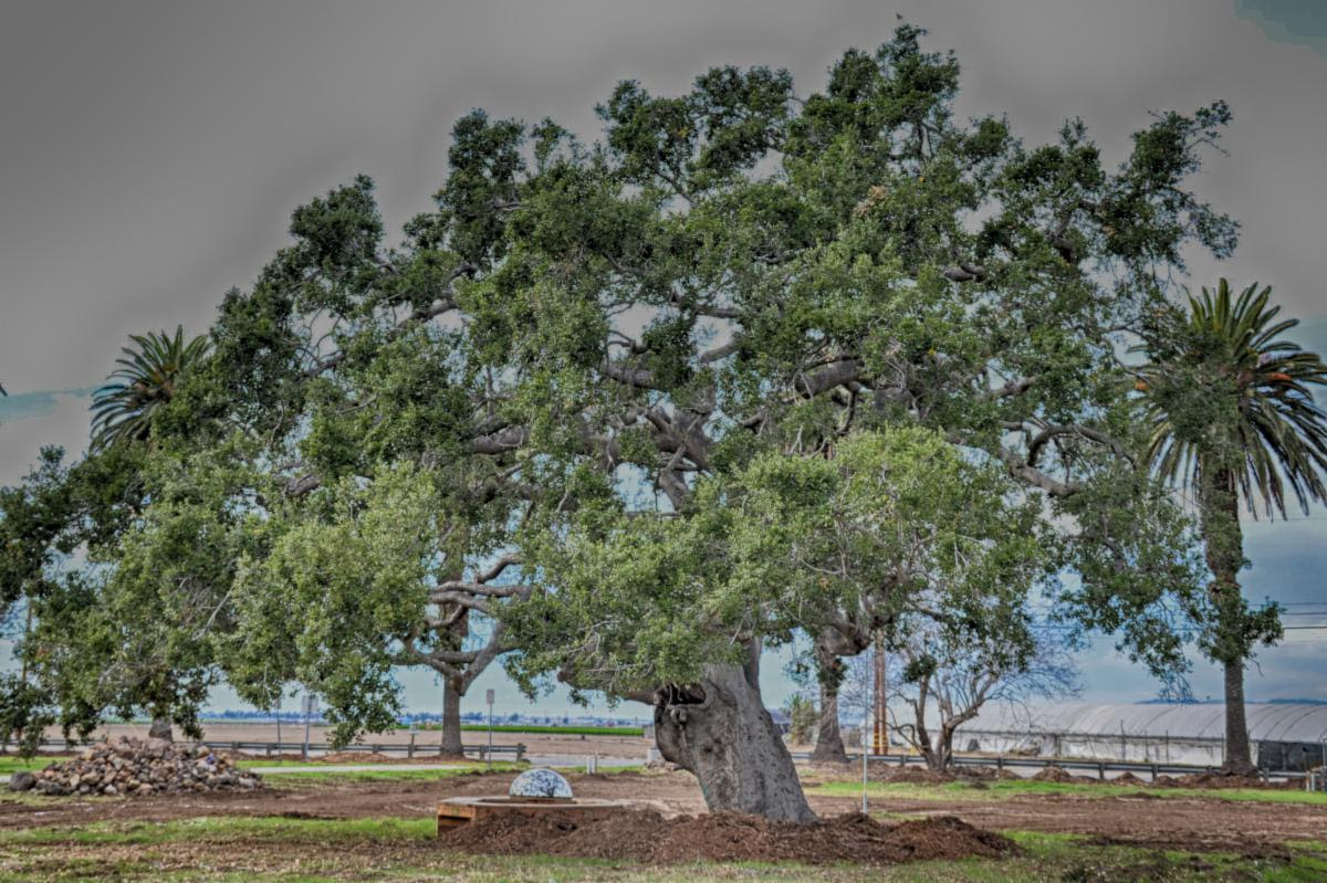 """""""Oaks dig deep roots during times of strife."""""""