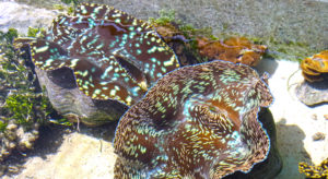 Large, mature giant clams are used for breeding at Majuro's Marshall Islands Mariculture Facilities clam farm. Photo: Kelly Lorennij.