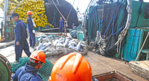 A purse seiner transships its cargo of tuna to a carrier vessel in Port Majuro. Pacific Catalyst, a new program centered at USP in Fiji, aims to engage young Pacific islanders in management of the multi-billion dollar tuna industry. Photo: Hilary Hosia.