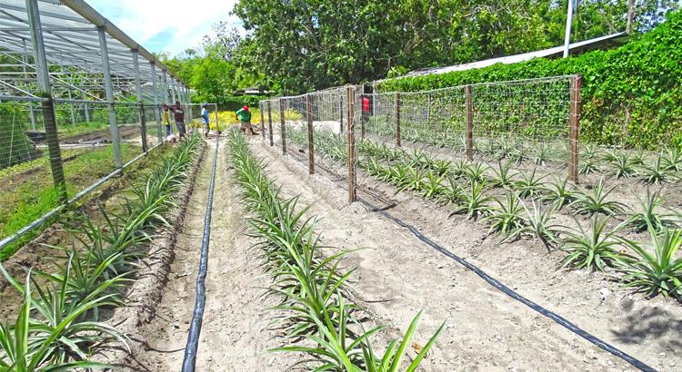 Pineapples flourish on Majuro