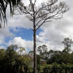 savemore-tree-service-Pine-tree-removal-loxahatchee-before
