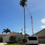 Palm-Tree-Trimming-Pruning-Wellington-Savemore-Tree-Service_3