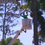 Tree-Removal-Tall-Pine-Tree-Loxahatchee-Savemore-Tree-Service_6