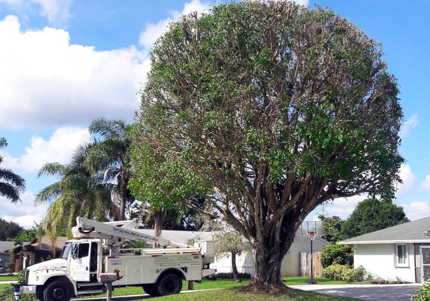 Tree Trimming and Pruning, Reduction in Loxahatchee, Royal Palm Beach, Wellington, FL - SaveMore Tree Service