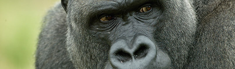 Cincinnati Zoo : Boy Falls into Gorilla Enclosure
