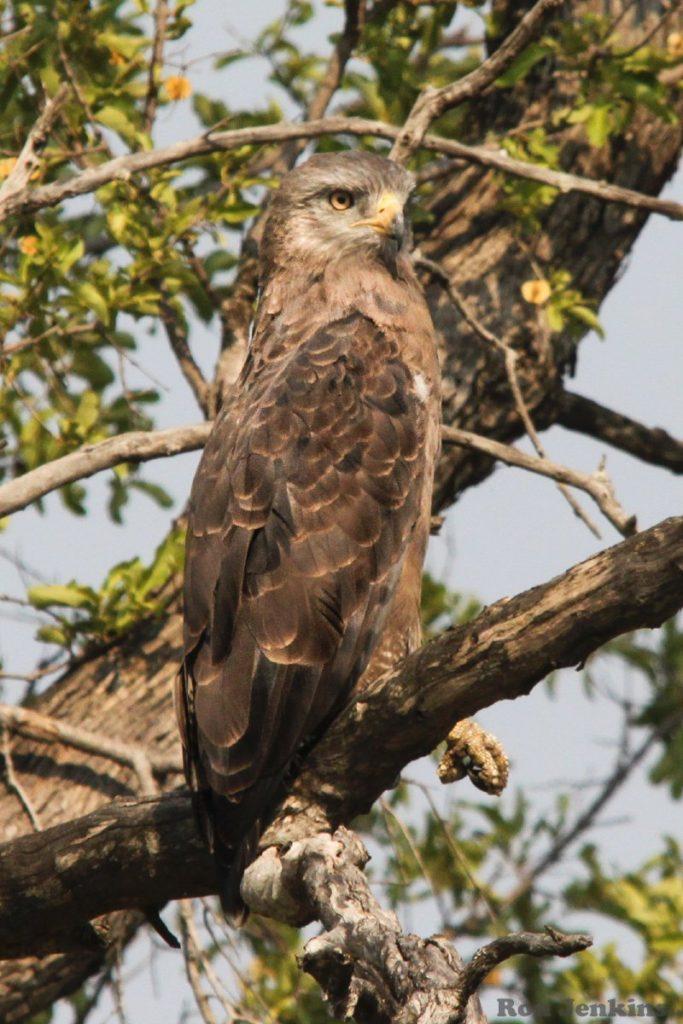 """""""African Marsh Harrier, Botswana"""""""