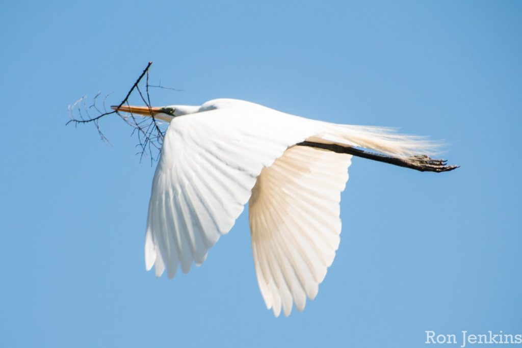 """""""Egret in Flight, PA"""""""