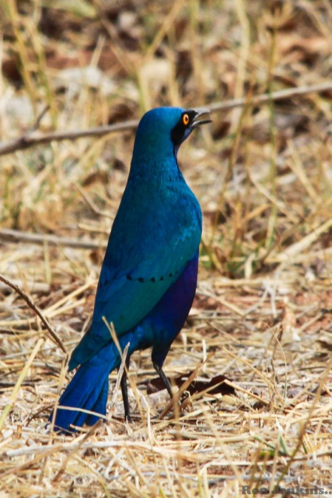 """""""Great Blue-Eared Glossy Starling, Namibia"""""""