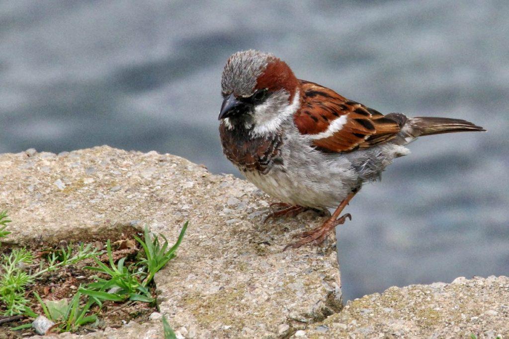 """House Sparrow, PA"""